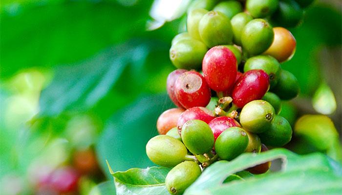 コーヒー農園イメージ