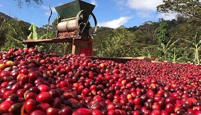 コーヒー農園収穫イメージ